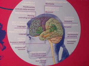 educazioneglobale il cervello