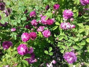 educazioneglobale roses 9
